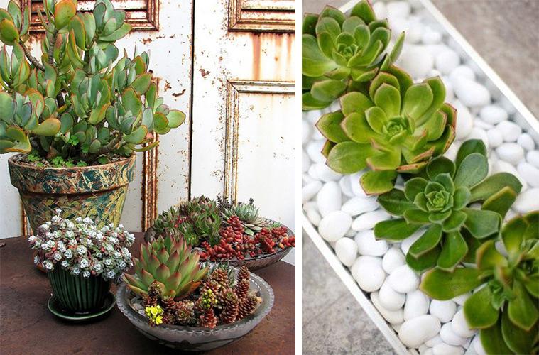 succulente (4)